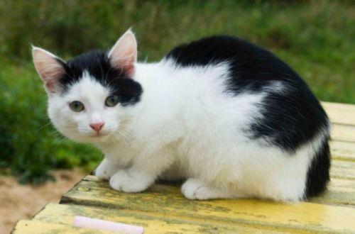 bicolor kitten