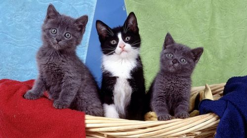 bicolor kittens