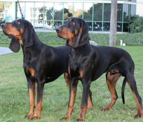 black and tan coonhound dogs
