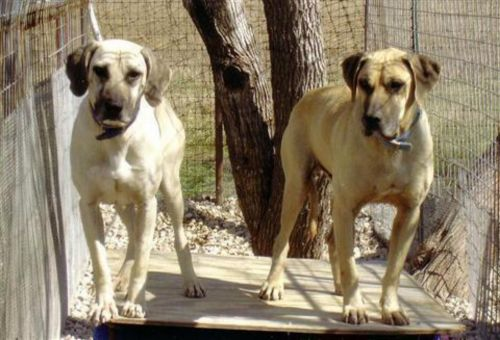 black mouth cur dogs