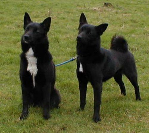 black norwegian elkhound dogs