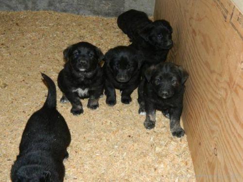 black norwegian elkhound puppies