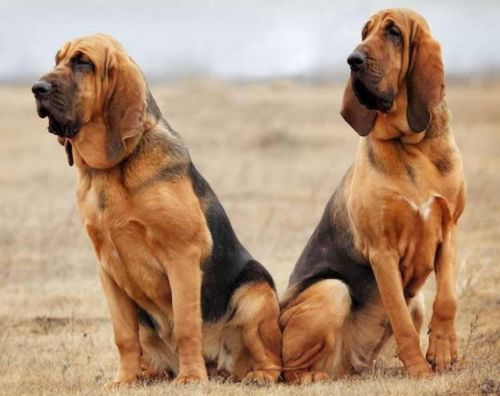 bloodhound dogs