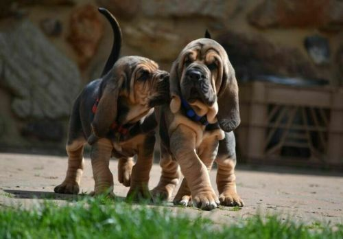bloodhound puppies