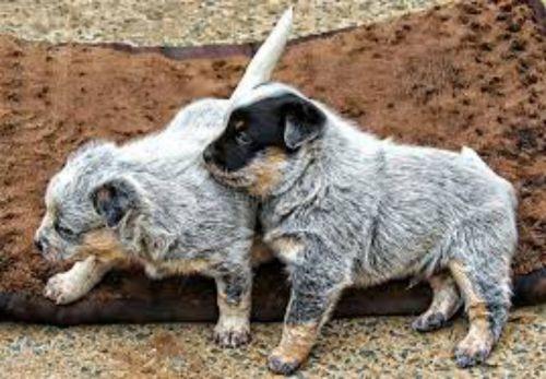 blue healer puppies