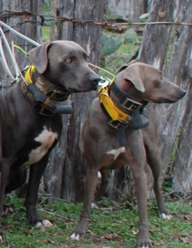 blue lacy dogs