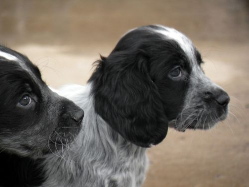 blue picardy spaniel puppies
