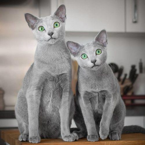 blue russian cats