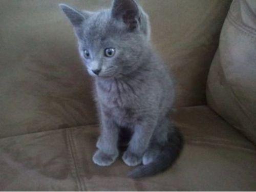 blue russian kitten