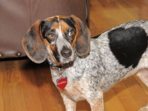 bluetick beagle dog
