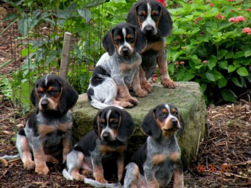 bluetick beagle puppies