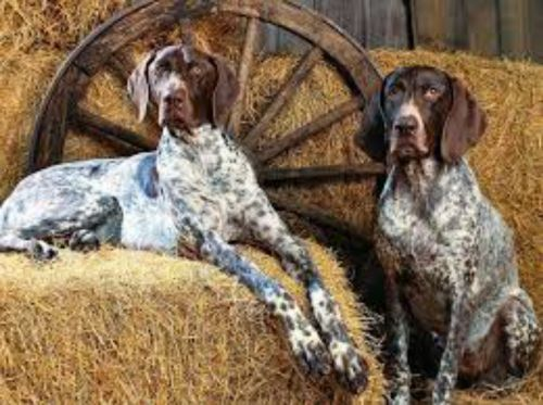 bluetick coonhound dogs