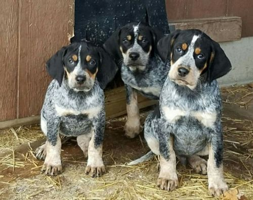 bluetick coonhound puppies