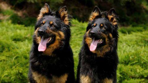 bohemian shepherd dogs