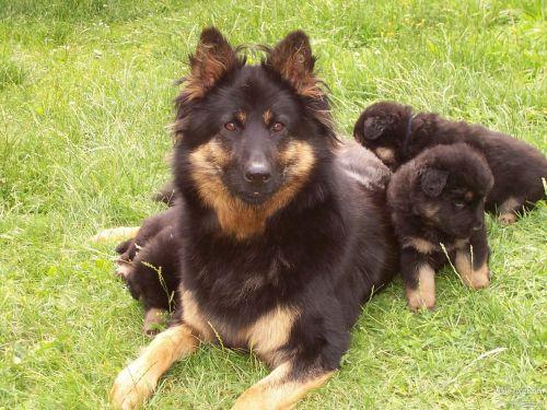 bohemian shepherd puppies