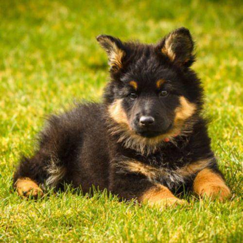 bohemian shepherd puppy