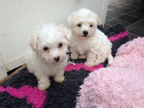 bolognese puppies