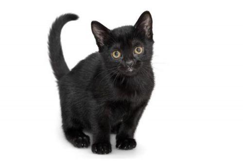 bombay kitten