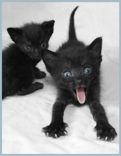 bombay kittens
