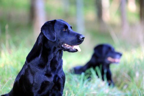 borador dogs