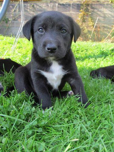 borador puppy