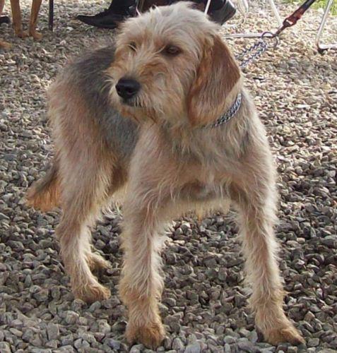 bosnian coarse haired hound