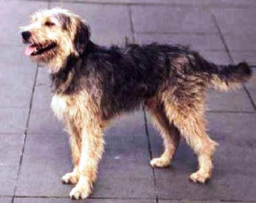 bosnian coarse haired hound dog