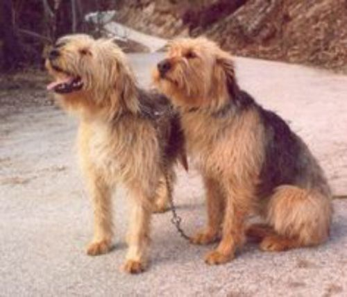 bosnian coarse haired hound dogs