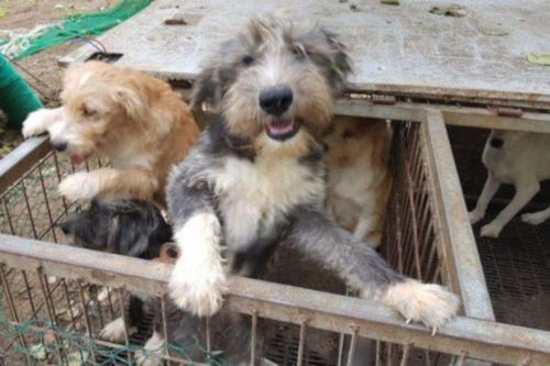 bosnian coarse haired hound puppies