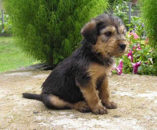 bosnian coarse haired hound puppy