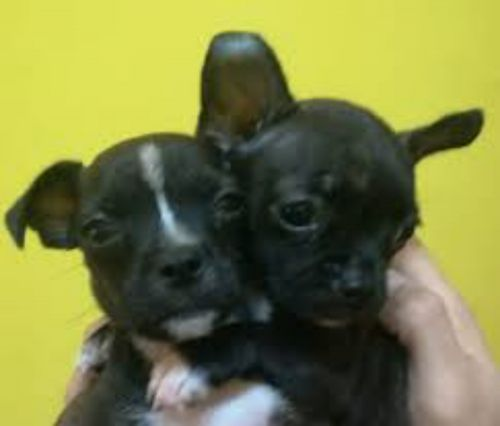 bospin puppies