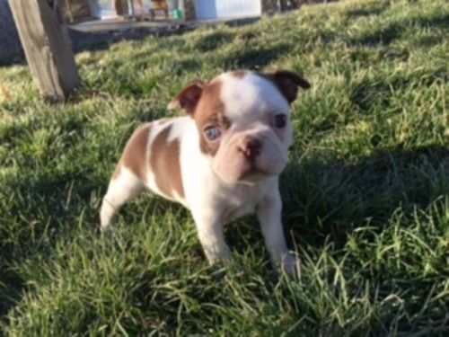 boston terrier cost boston terrier puppies for sale canton oh 198797 2144