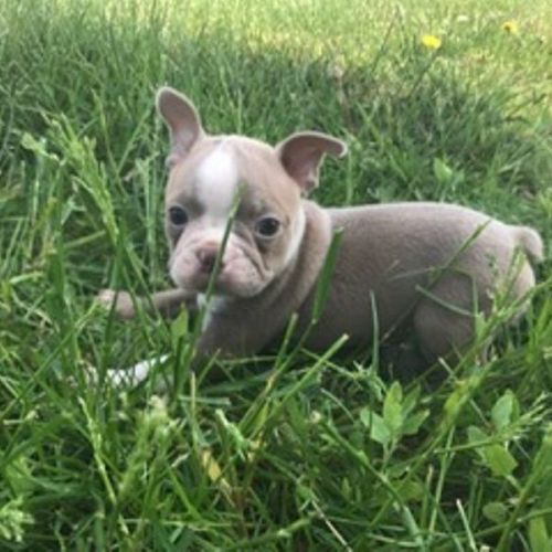 boston terrier cost boston terrier puppies for sale canton oh 198830 6956