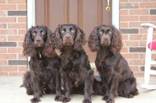 boykin spaniel dogs