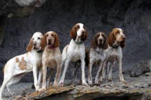 bracco italiano dogs