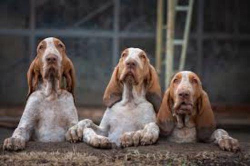 bracco italiano puppies