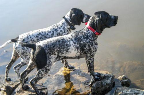 braque d auvergne dogs