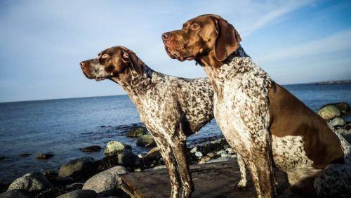 braque francais gascogne type dogs