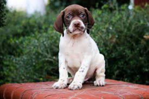 braque francais gascogne type puppy