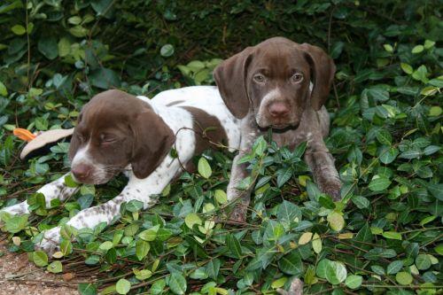 braque francais puppies