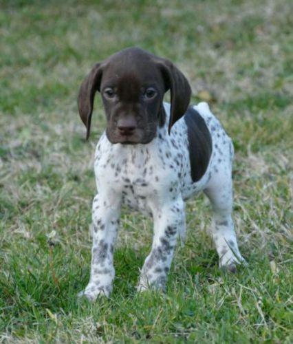 braque francais puppy