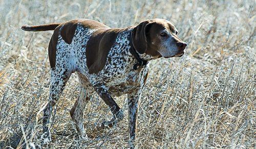 braque francais pyrenean type dog