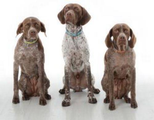 braque francais pyrenean type dogs
