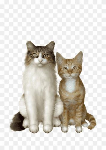 brazilian shorthair cats