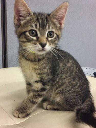 brazilian shorthair kitten