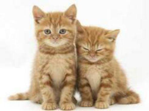 brazilian shorthair kittens