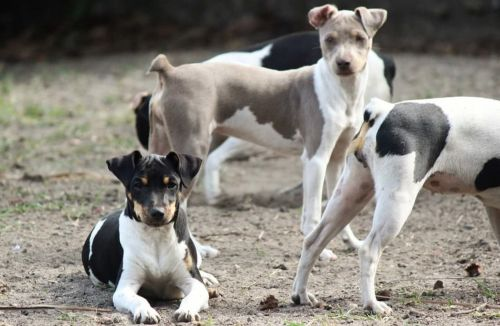 brazilian terrier dogs