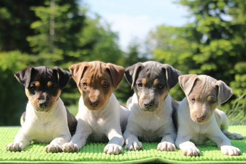 brazilian terrier puppies