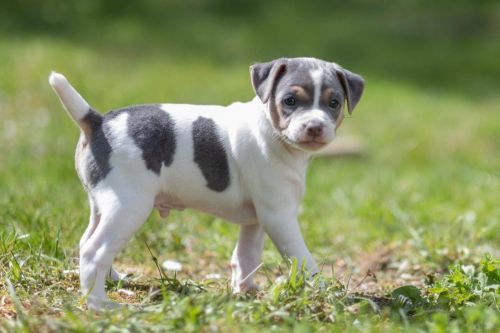 brazilian terrier puppy