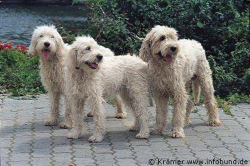 briquet griffon vendeen dogs